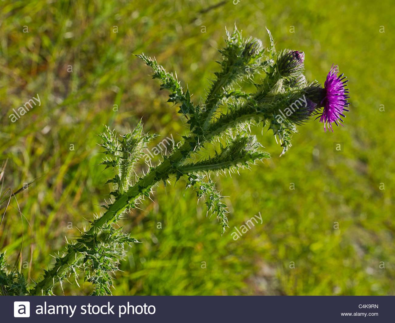 Thistle Wild Plant Asteraceae. - Stock Image