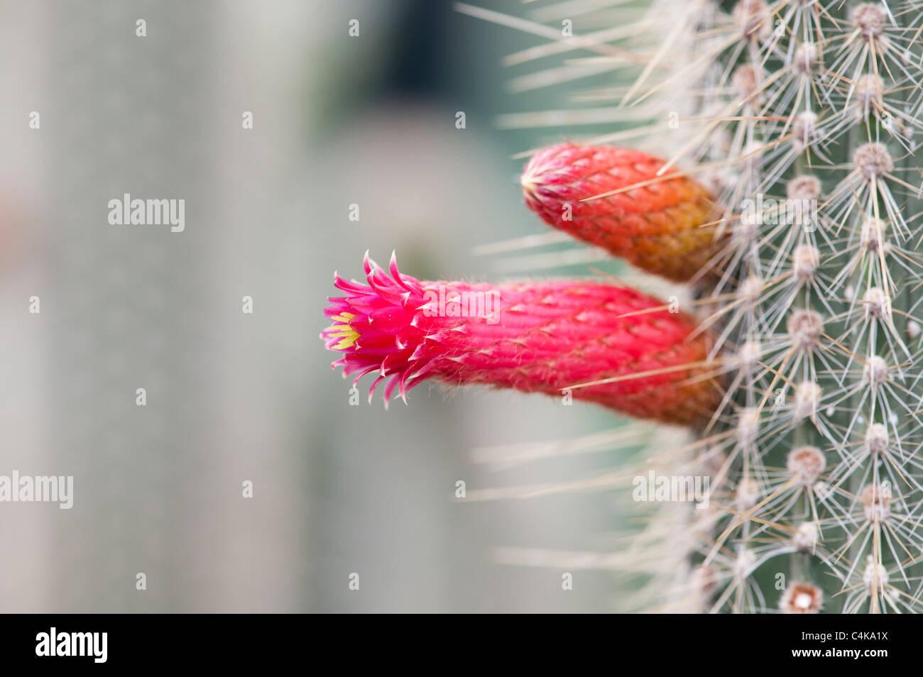 Cleistocactus parviflorus . Flowering Cactus - Stock Image