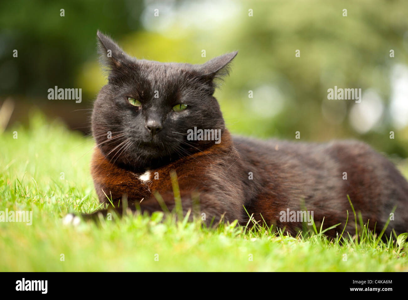 Black cat sitting on grass looking fierce - Stock Image