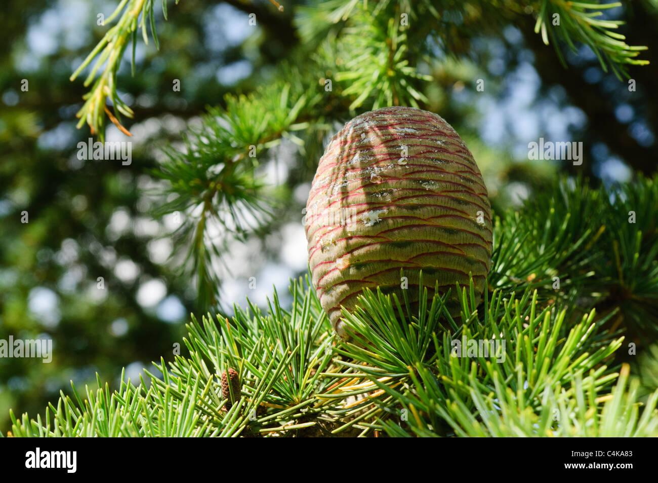 Cone of a Lebanese Cedar (Cedrus libani) - Stock Image