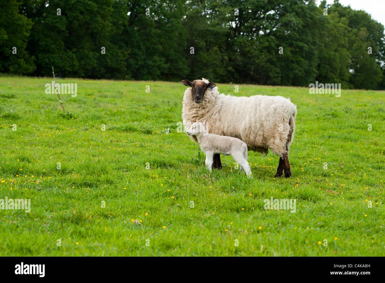 Ewe sheep and her young lamb - Stock Image