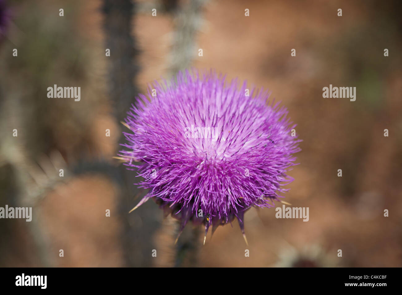 Bull thistle-CIRSIUM VULGARE,Close-up - Stock Image