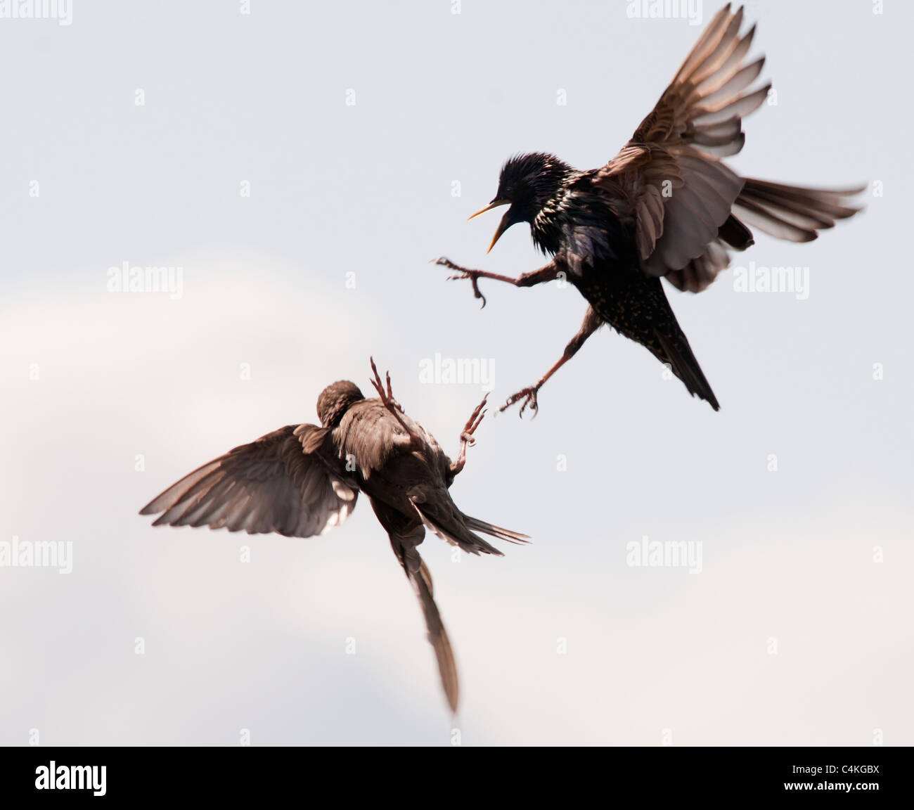 Adult and Juvenile Starling quarrelling in flight - Stock Image