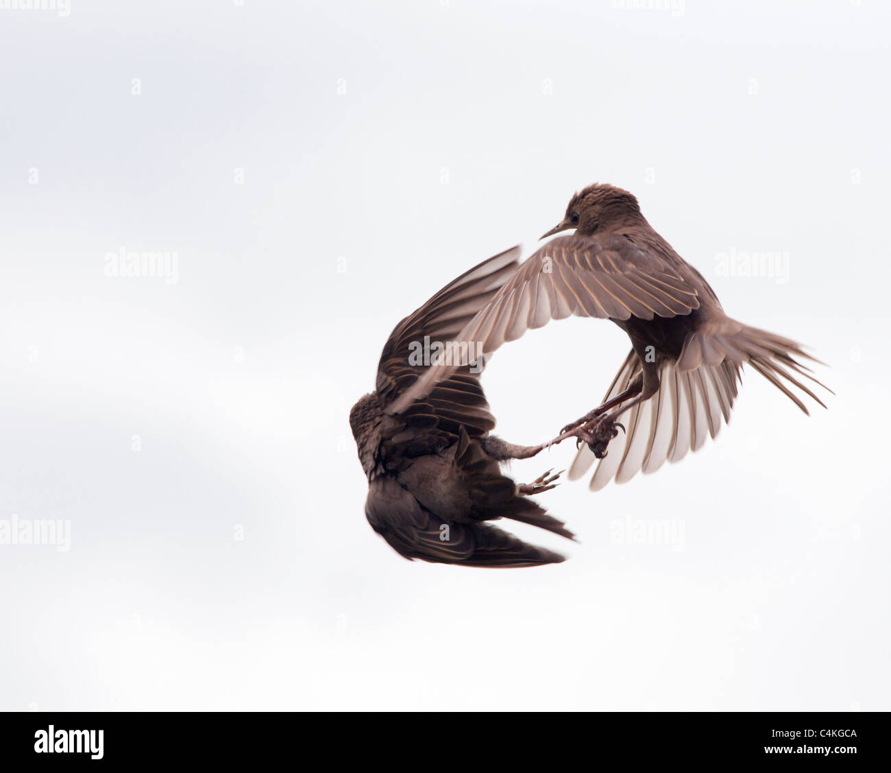 Two Juvenile Starlings quarrelling in flight - Stock Image