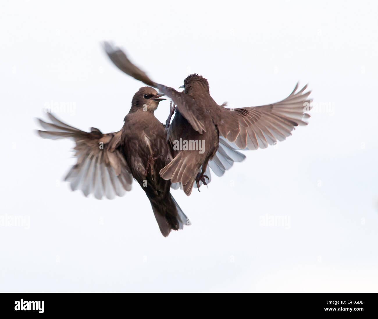Two Juvenile Starlings quarreling in flight - Stock Image