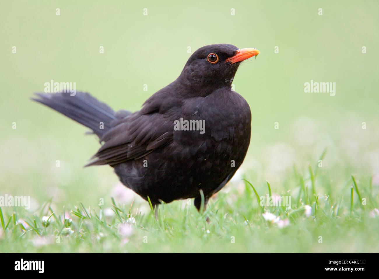Blackbird; Turdus merula; male - Stock Image