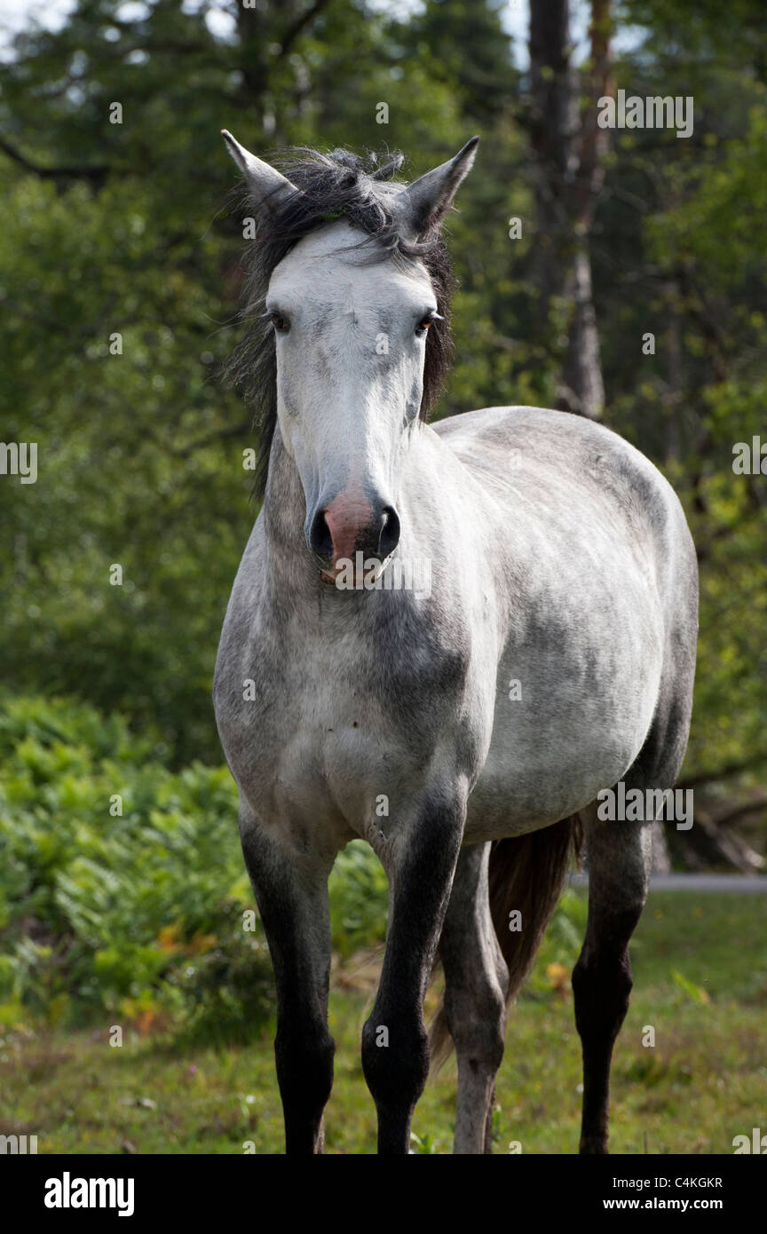 New Forest Pony - Stock Image