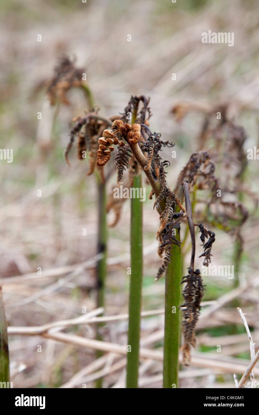 Bracken; Pteridium aquilinum; killed by salt spray; near Stranraer; Scotland Stock Photo