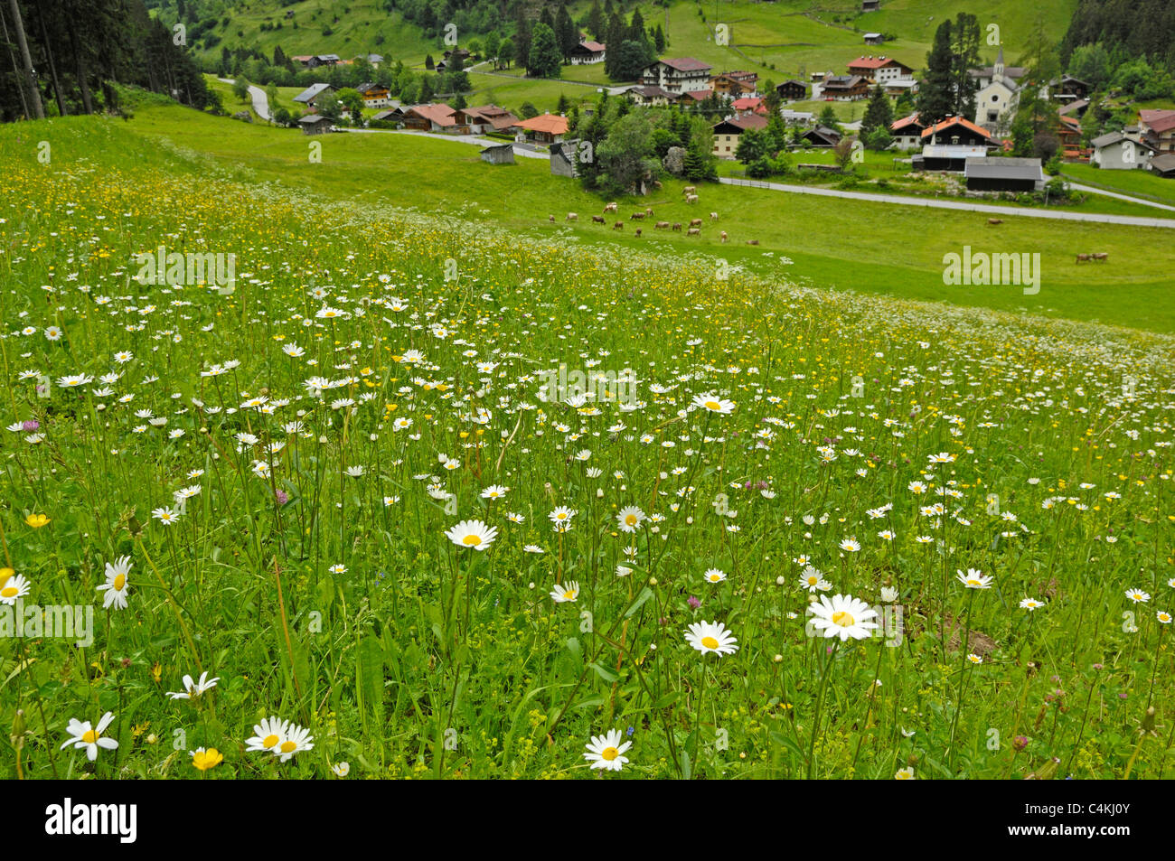 Traditional meadow flowers grown for animal feed on the side of a hill outside Ginzling in Austria. Stock Photo