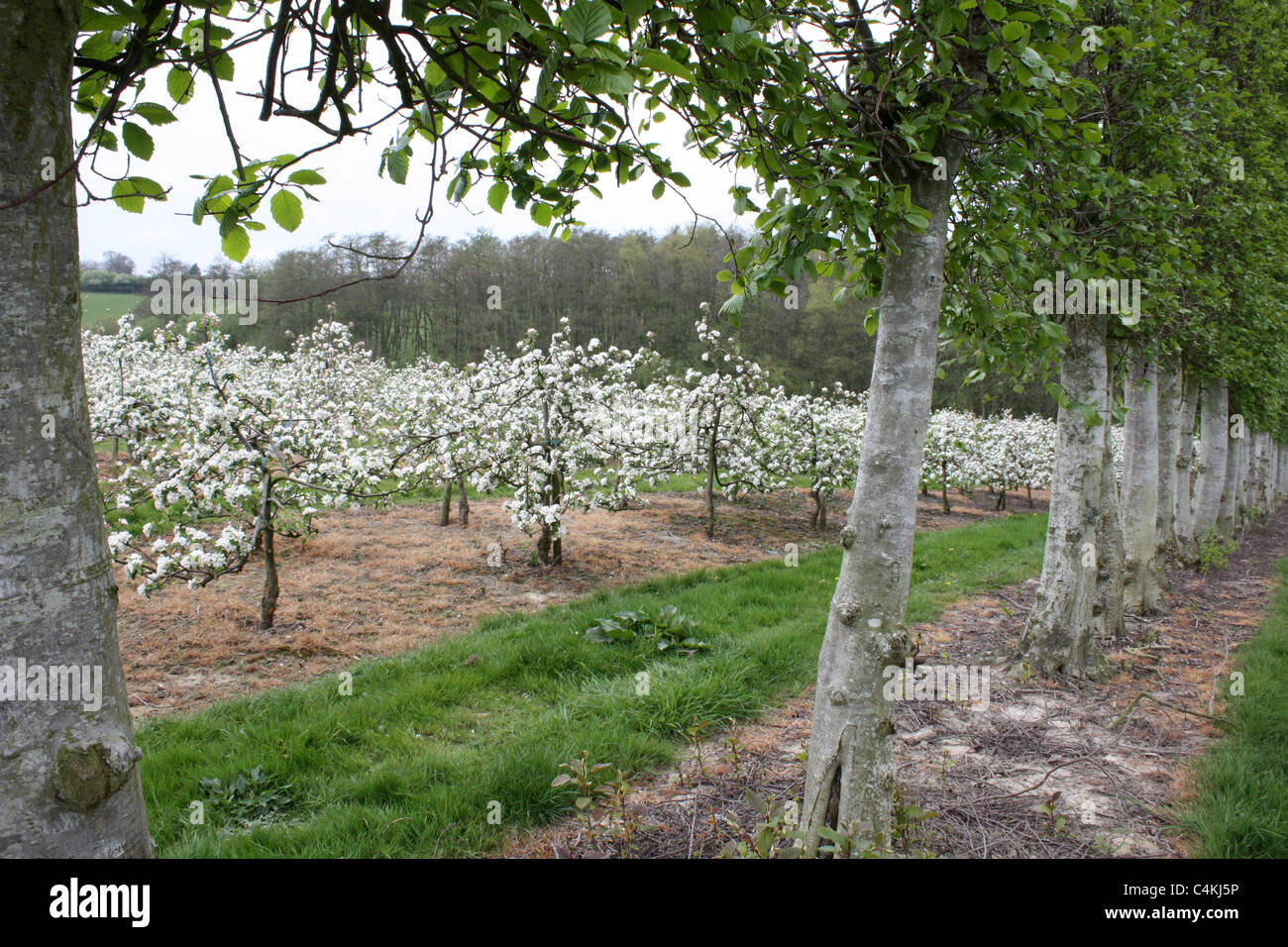 apple trees in blossom at springtime in English orchard East Sussex England UK - Stock Image
