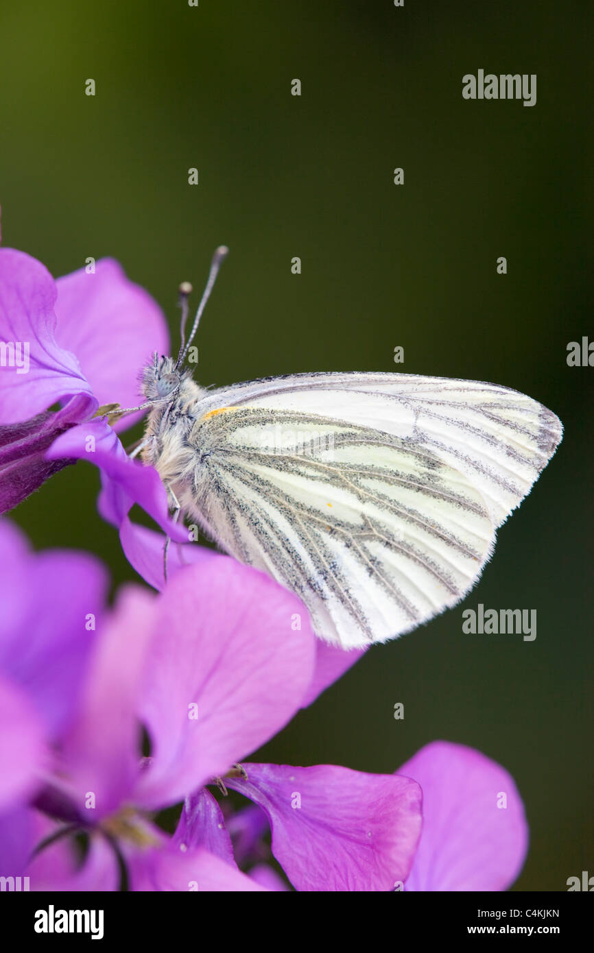 Green Veined White Butterfly; Artogeia napi; on flower - Stock Image
