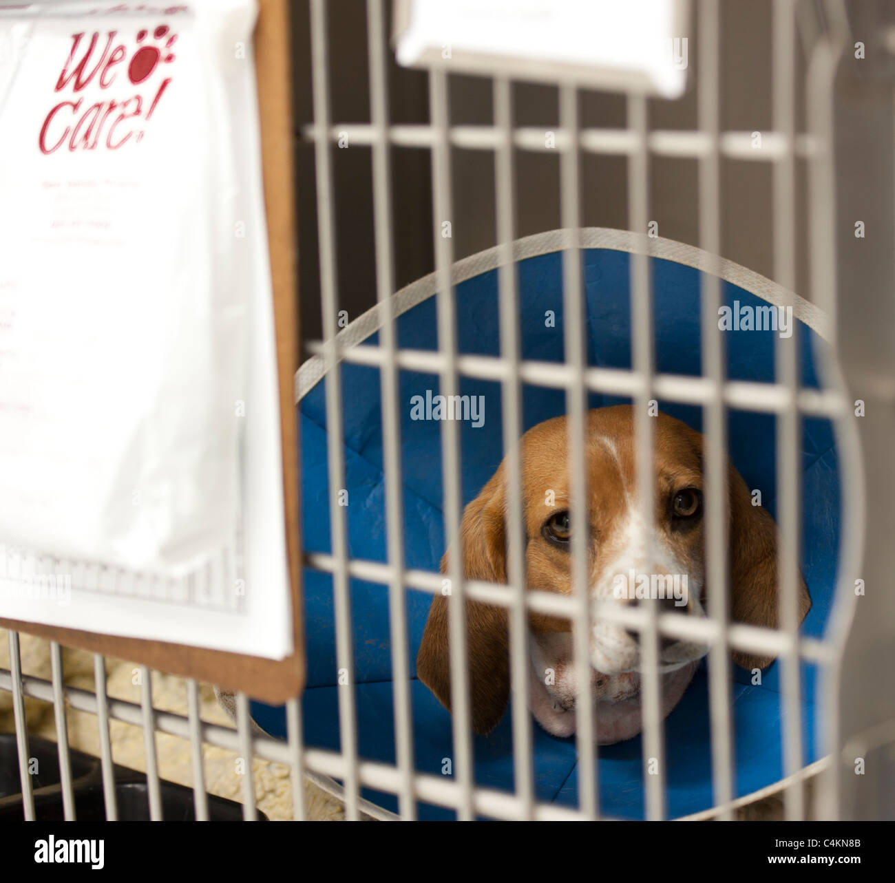 a beagle recuperating at a vet's hospital - Stock Image