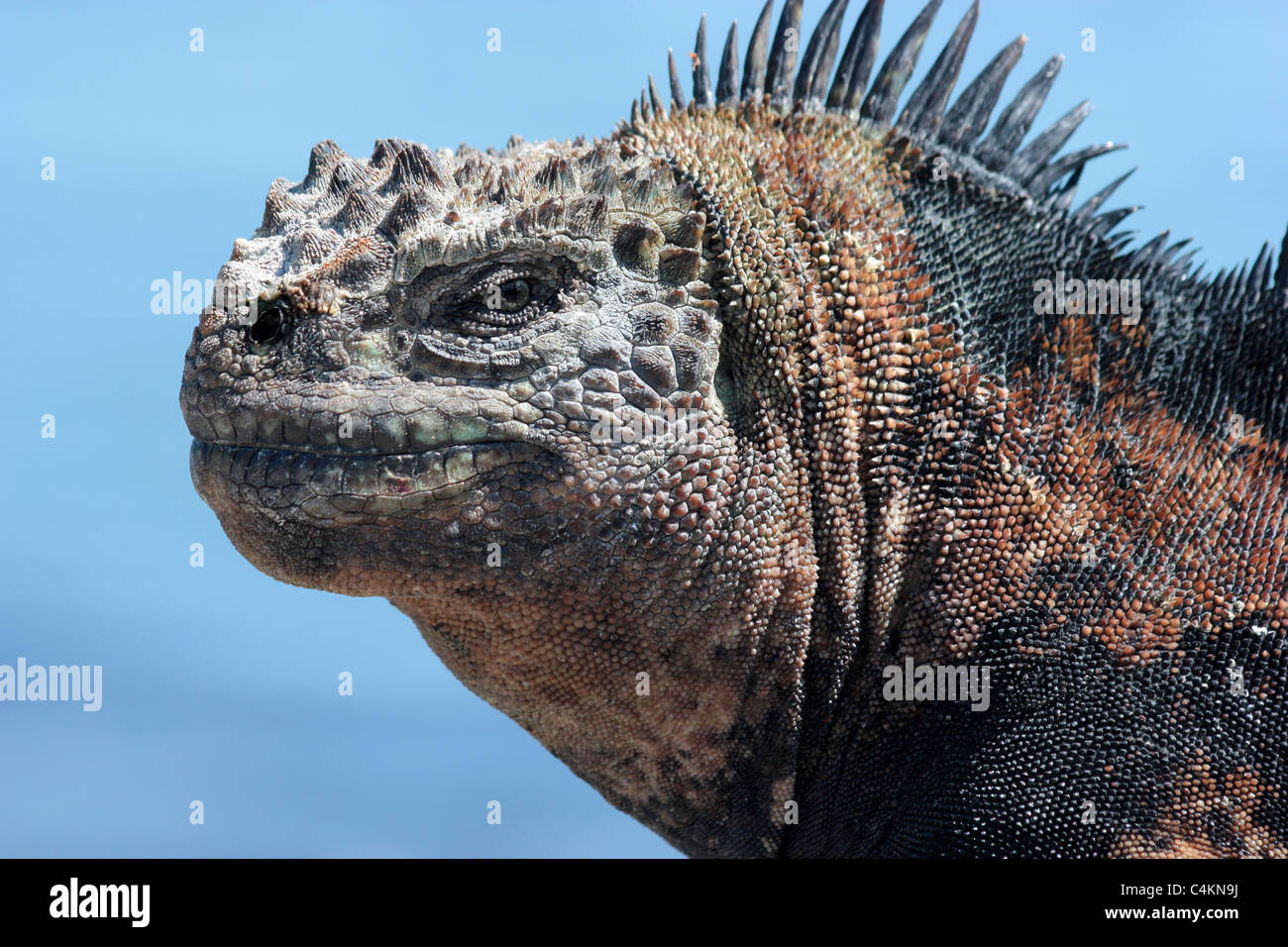 Semi urbanized Marine Iguana in Puerto Ayora harbour; Santa Cruz, Galapagos Islands, Ecuador. - Stock Image