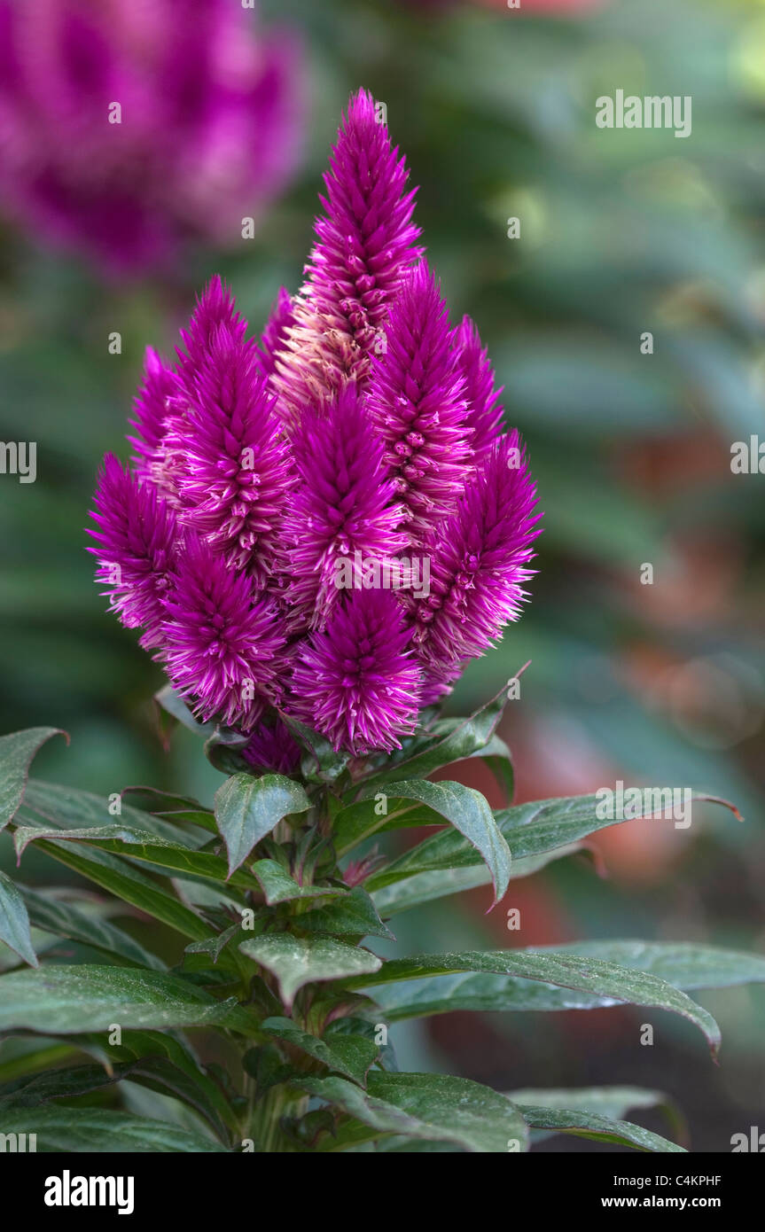 Plumed Cockscomb (Celosia argentea). Purple flower head Stock Photo