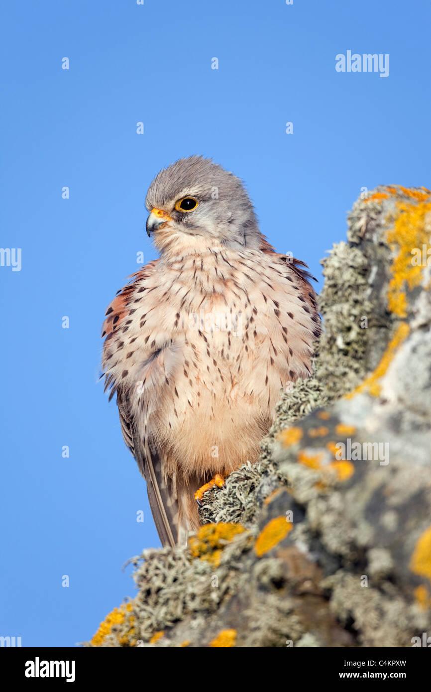 Kestrel; Falco tinnunculus; male; Cornwall - Stock Image