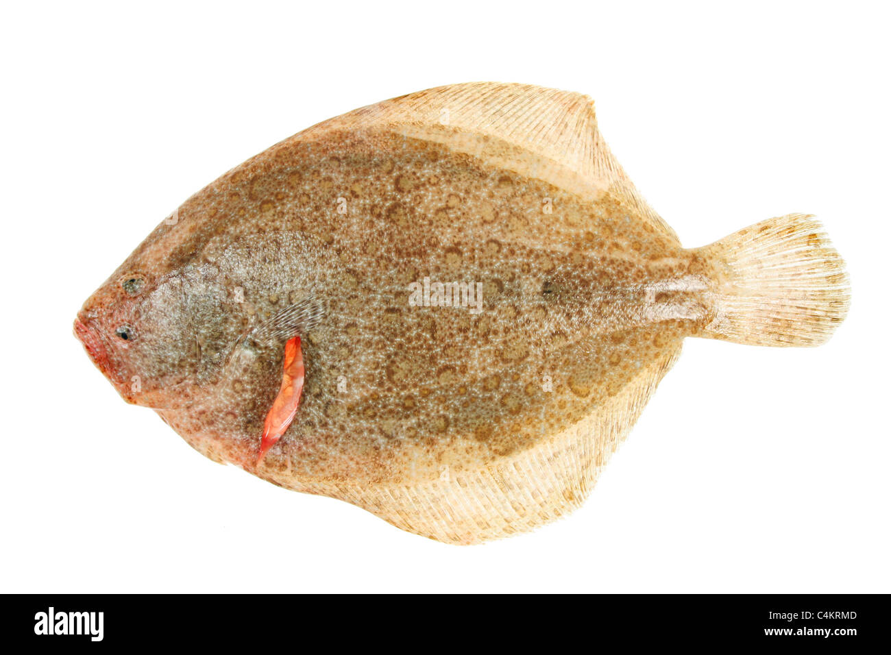 Brill flatfish isolated on a white background - Stock Image