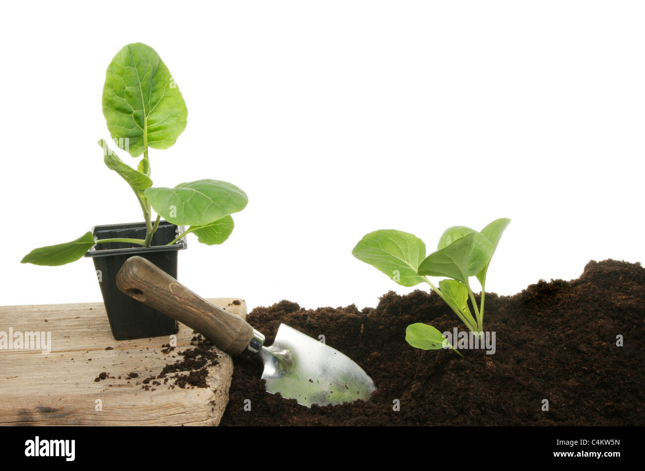 Planting seedling vegetable plants into fresh compost with a garden trowel - Stock Image