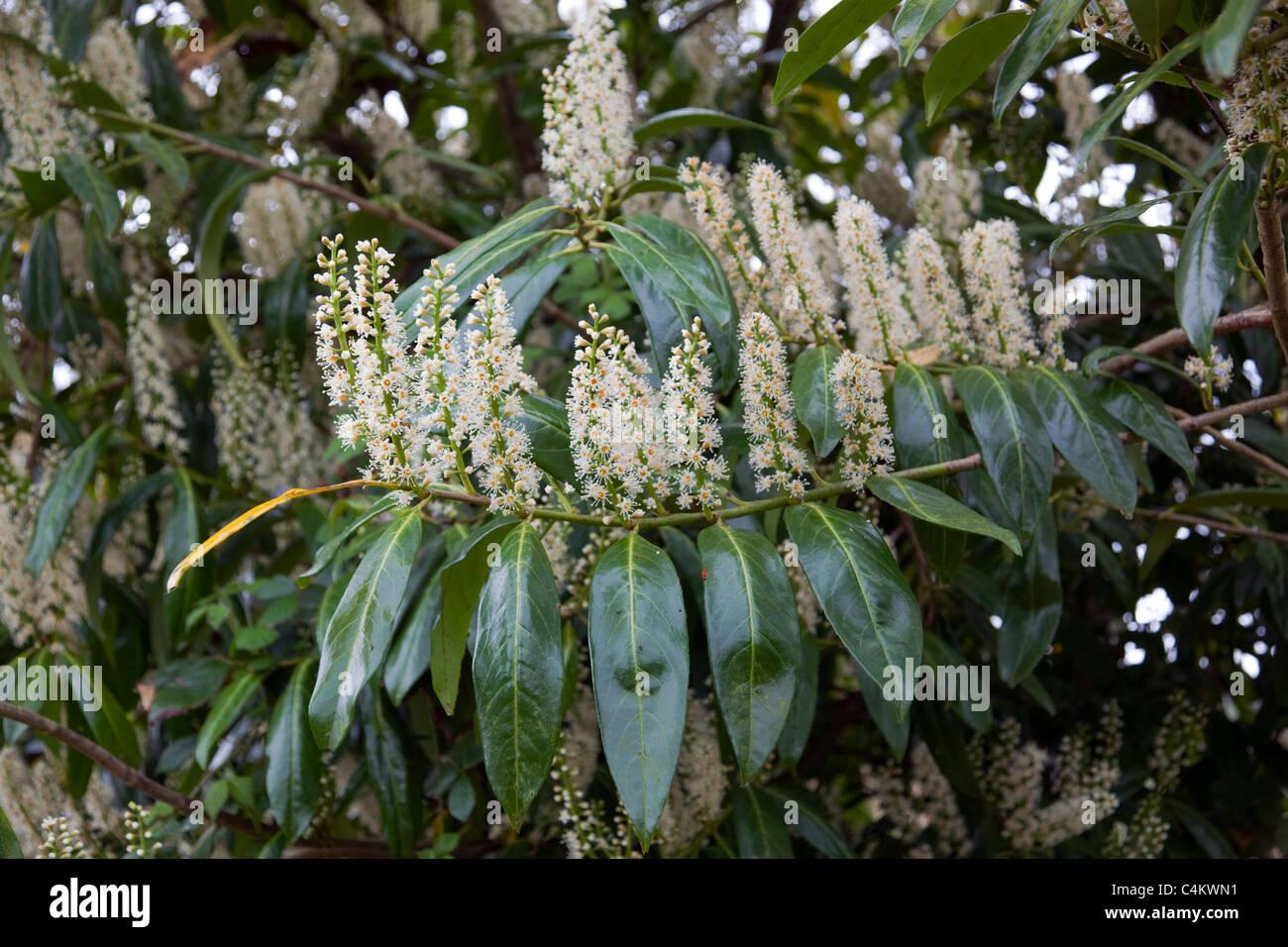 Laurel Flowers; - Stock Image