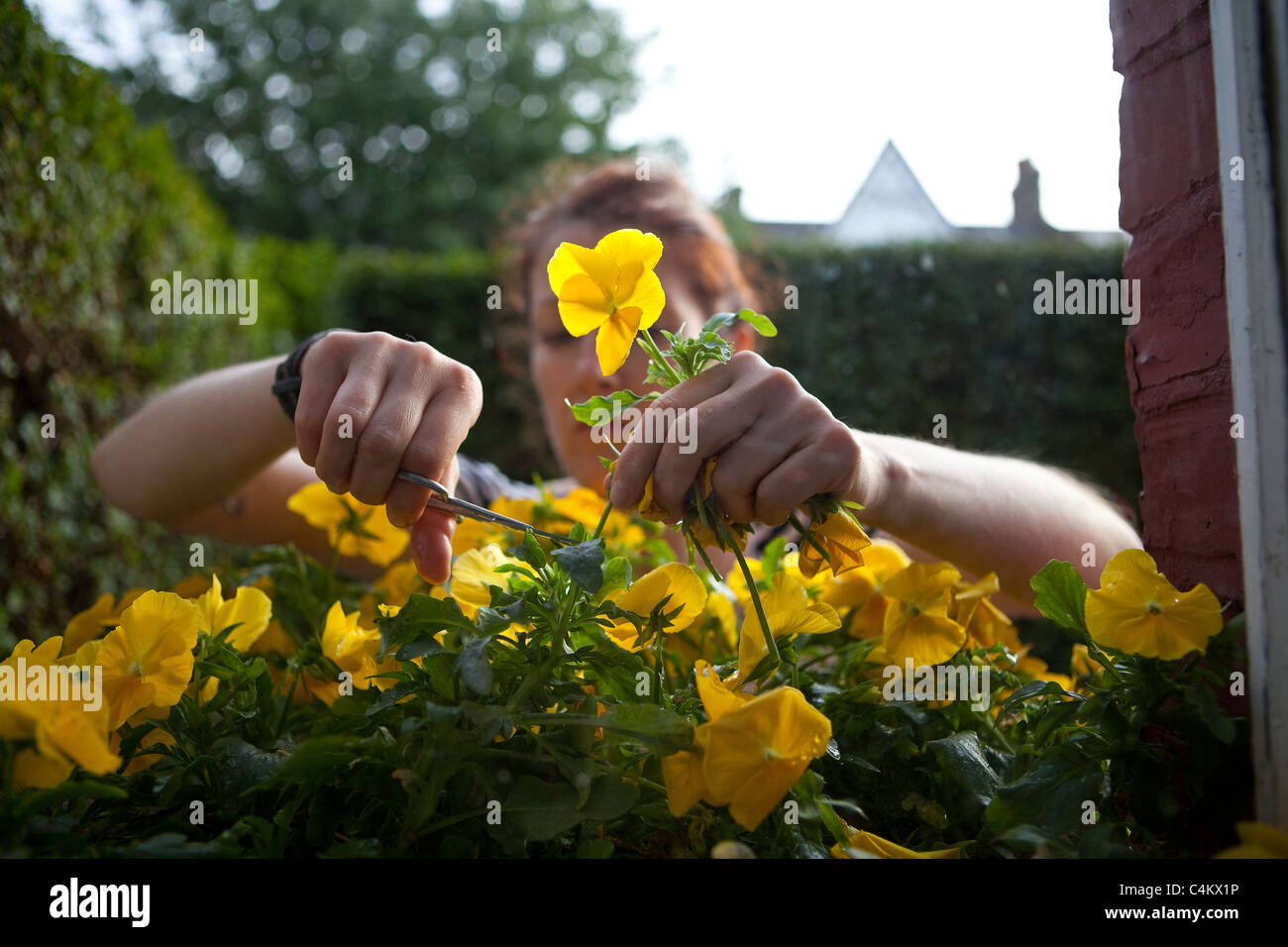 Woman attending to flowers in window box. - Stock Image