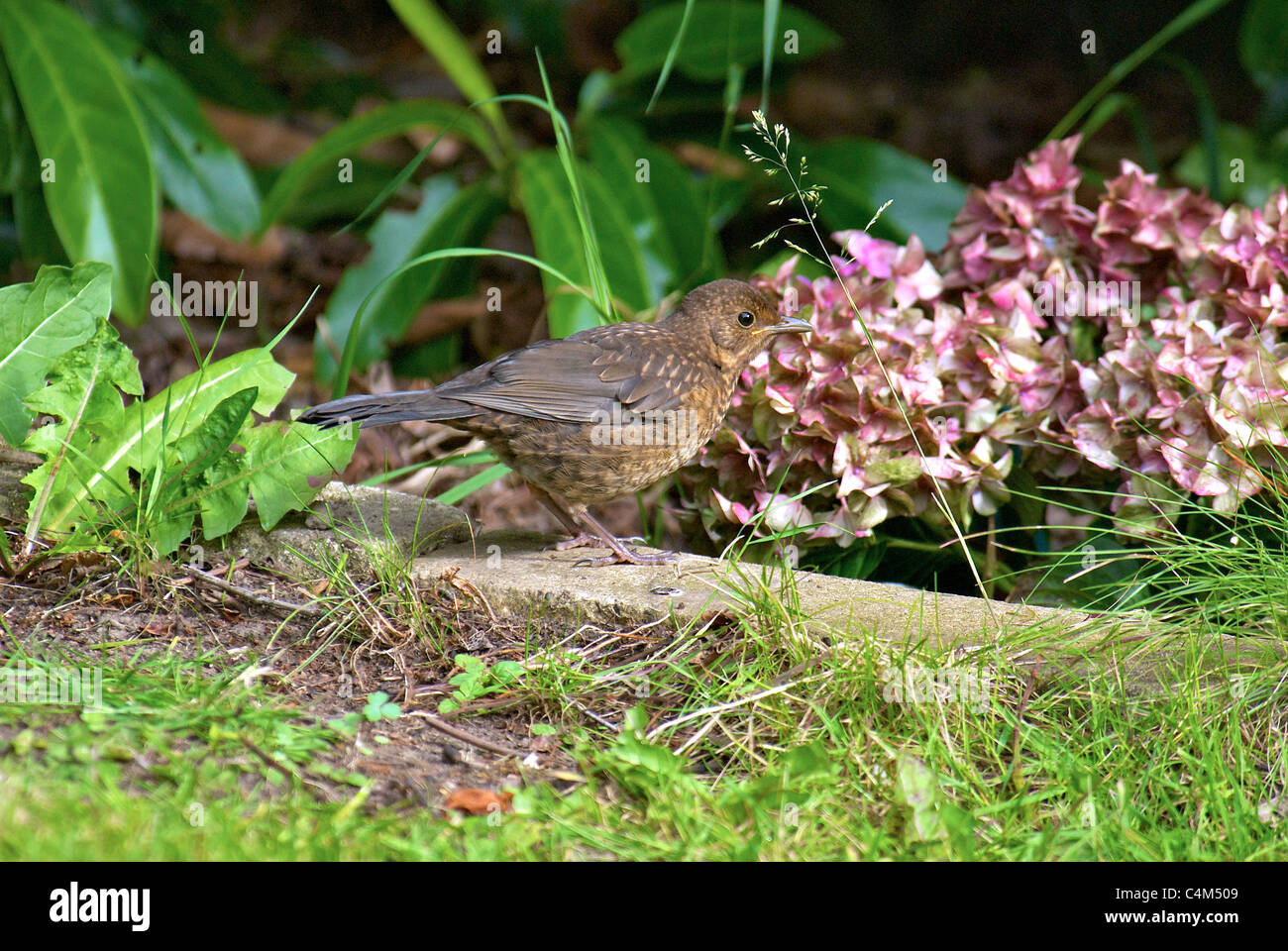 Fledgling Blackbird. - Stock Image