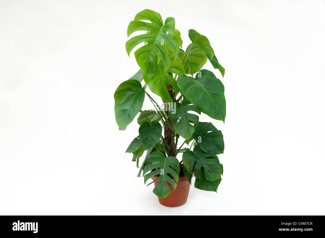 Cheese Plant (Monstera deliciosa). Potted plant. Studio picture against a white background - Stock Image