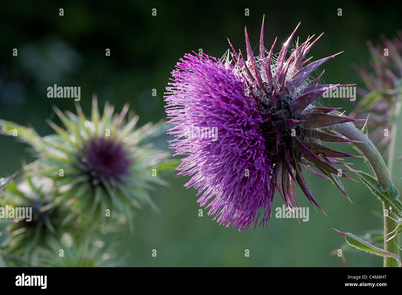 Musk thistle - Stock Image
