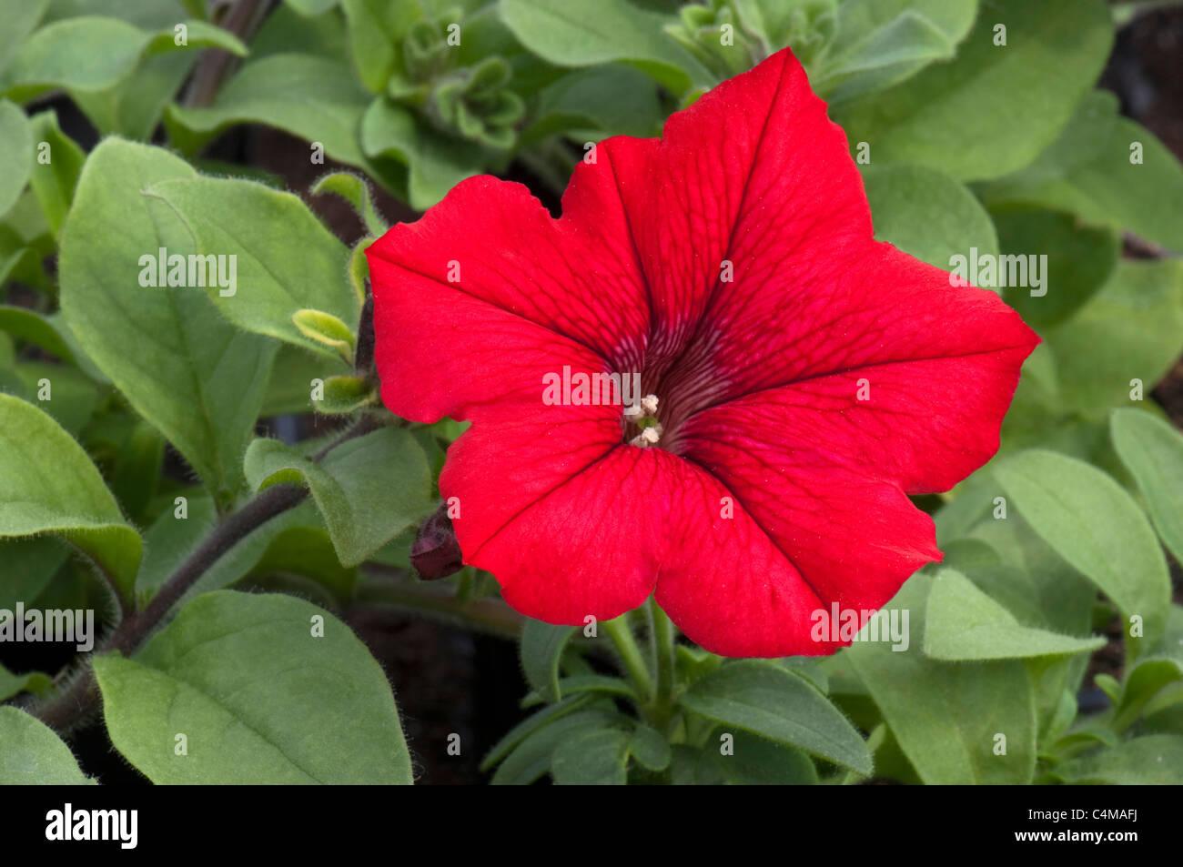 Garden Petunia (Petunia x hybrida), red flower. - Stock Image