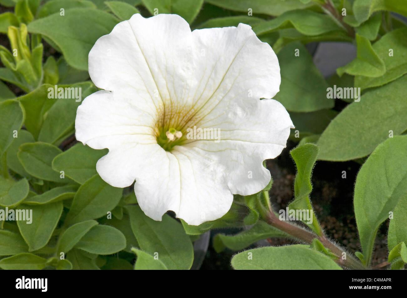 Garden Petunia (Petunia x hybrida), white flower. - Stock Image