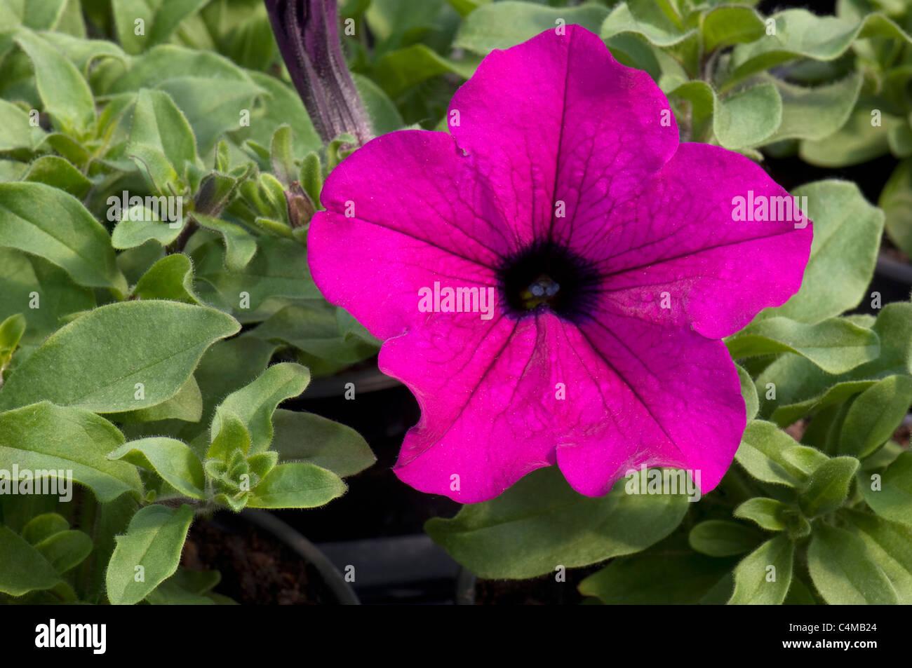 Garden Petunia (Petunia x hybrida), purple flower. - Stock Image