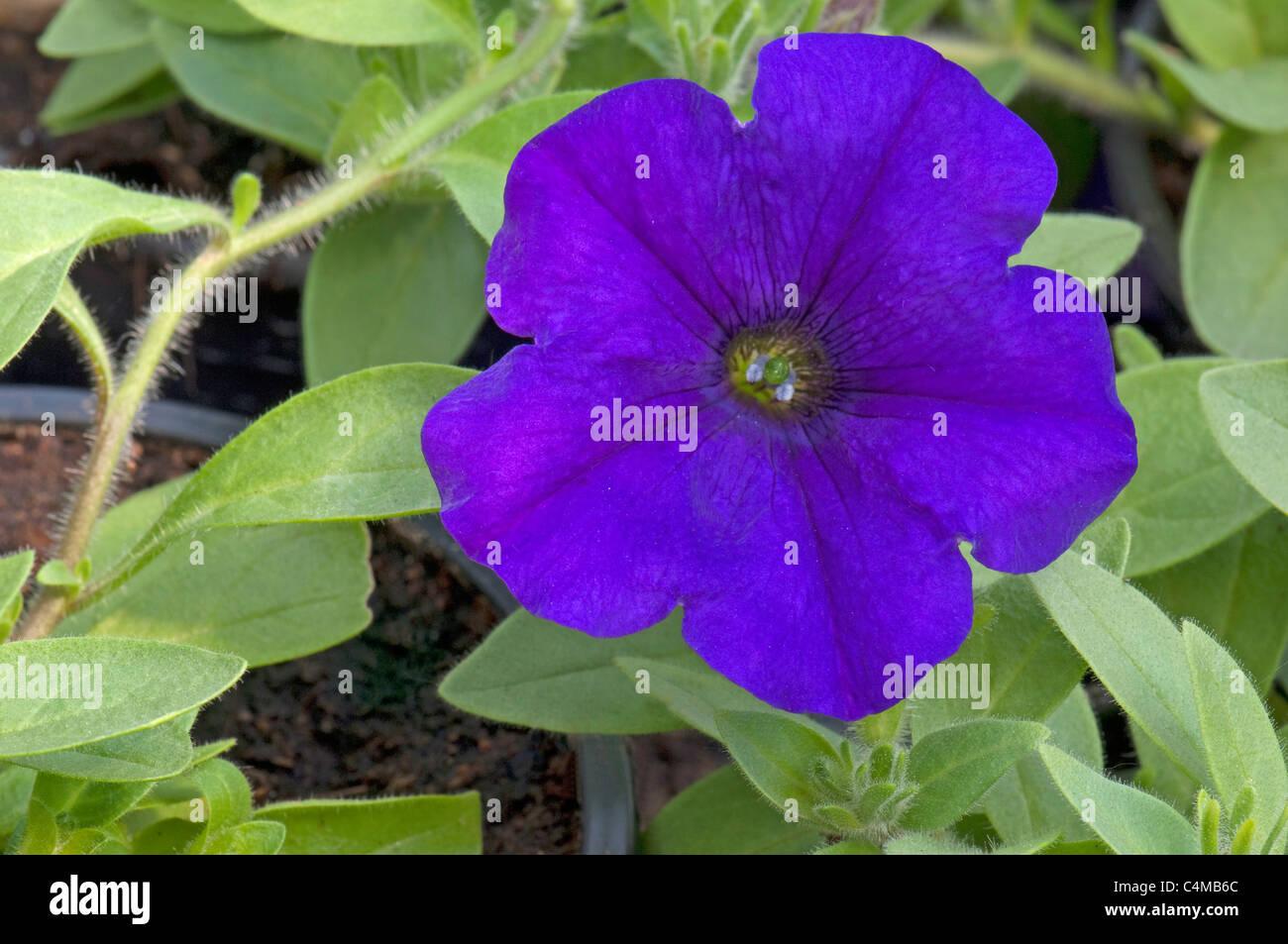Garden Petunia (Petunia x hybrida), blue flower. - Stock Image