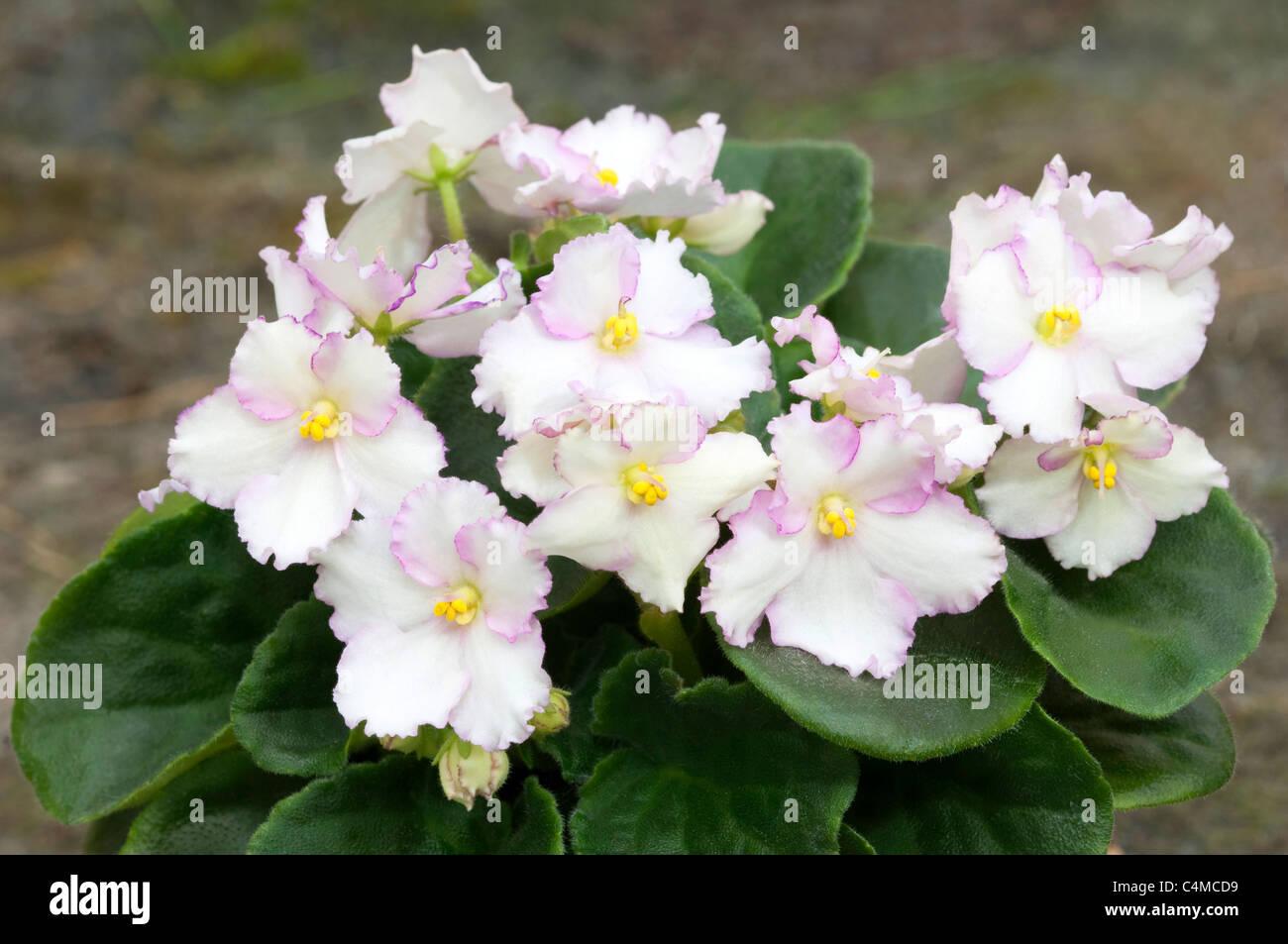 Saintpaulia African Violet Saintpaulia Ionantha Hybride White