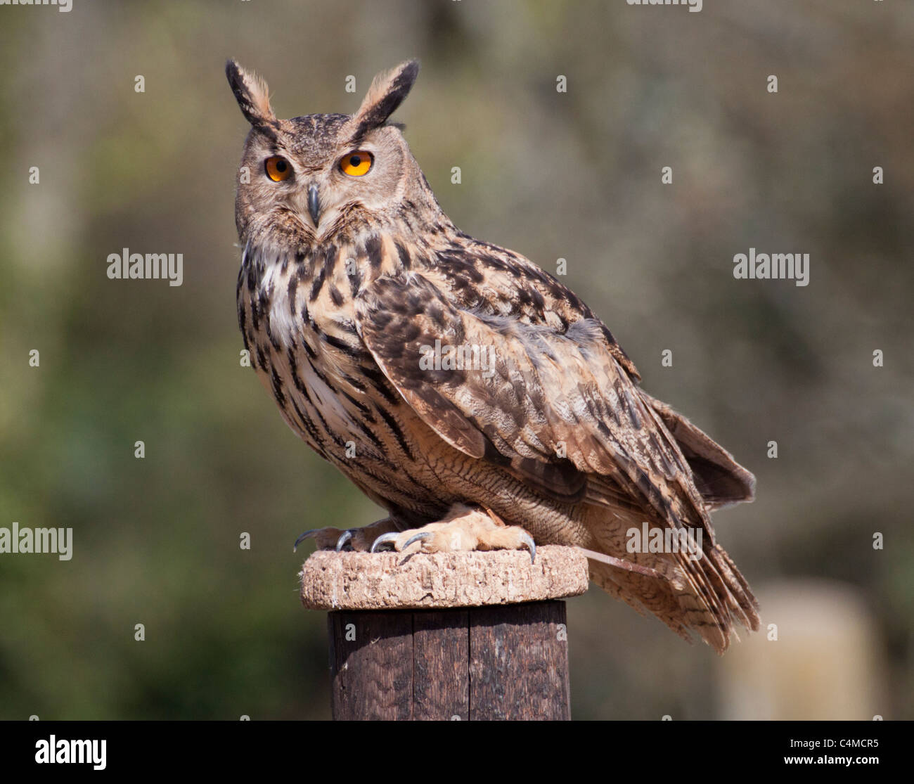 Eurasian Eagle Owl perched on a fencepost looking towards camera - Stock Image