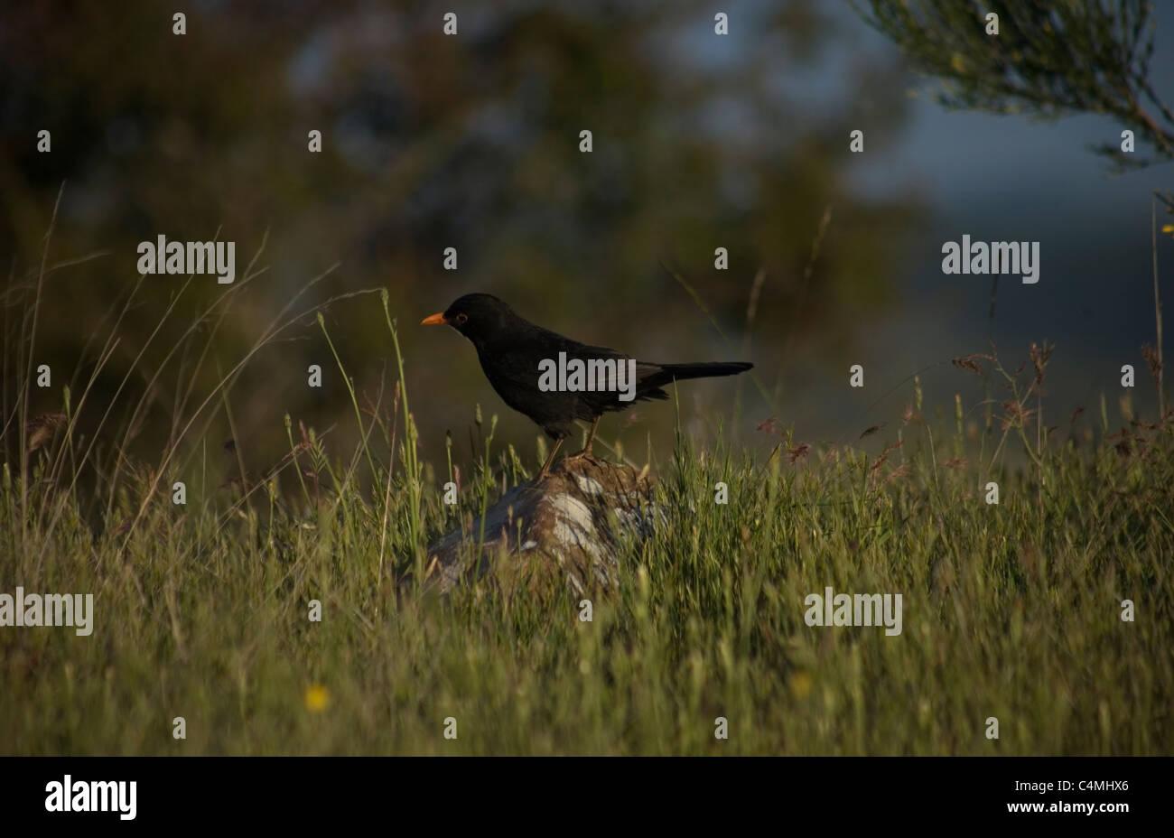 A common blackbird perches in a stone in the French Way of St. James Way, El Bierzo region, Castilla y Leon, Spain. - Stock Image