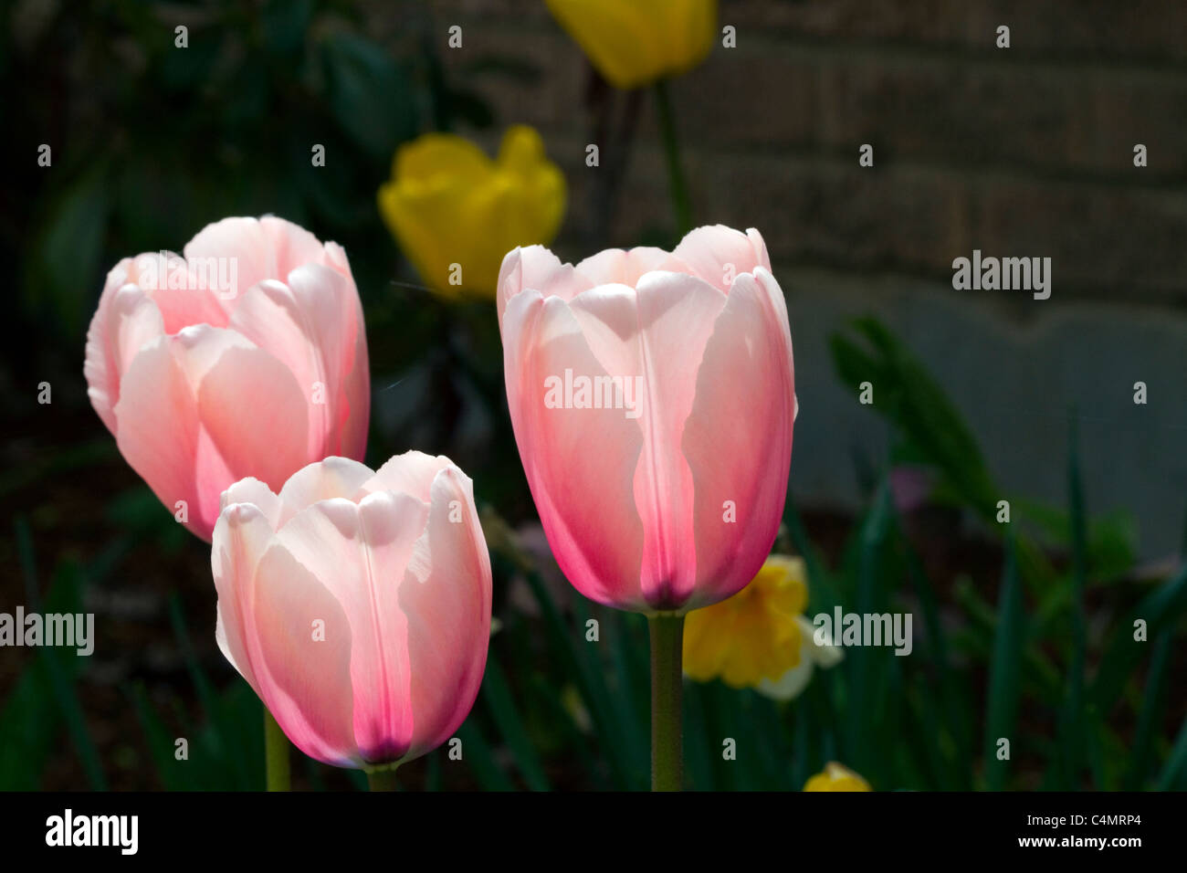 Tulip flower in bloom. Stock Photo