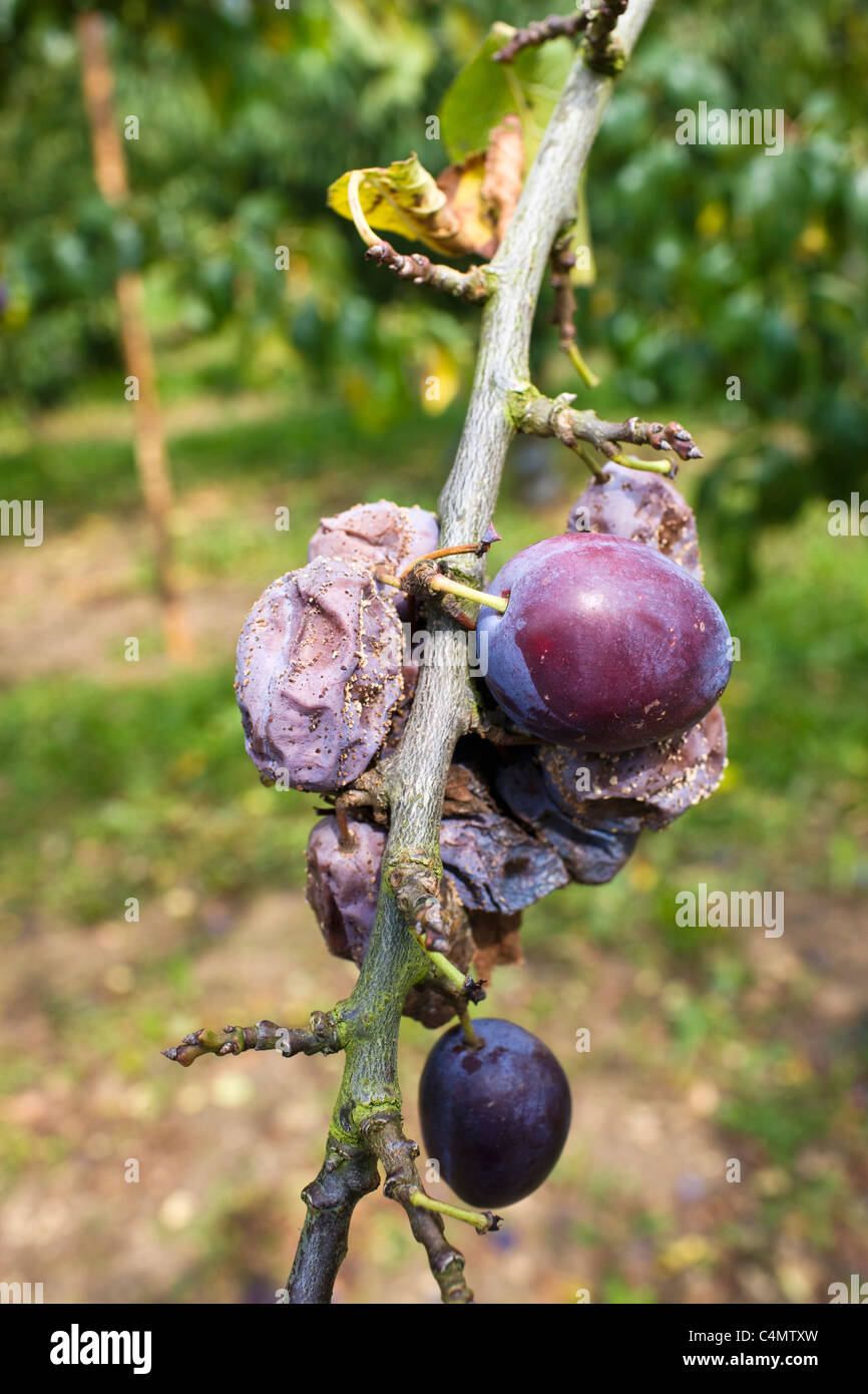 Victoria plums including withered plums on a plum tree in Gloucestershire, England, United Kingdom - Stock Image