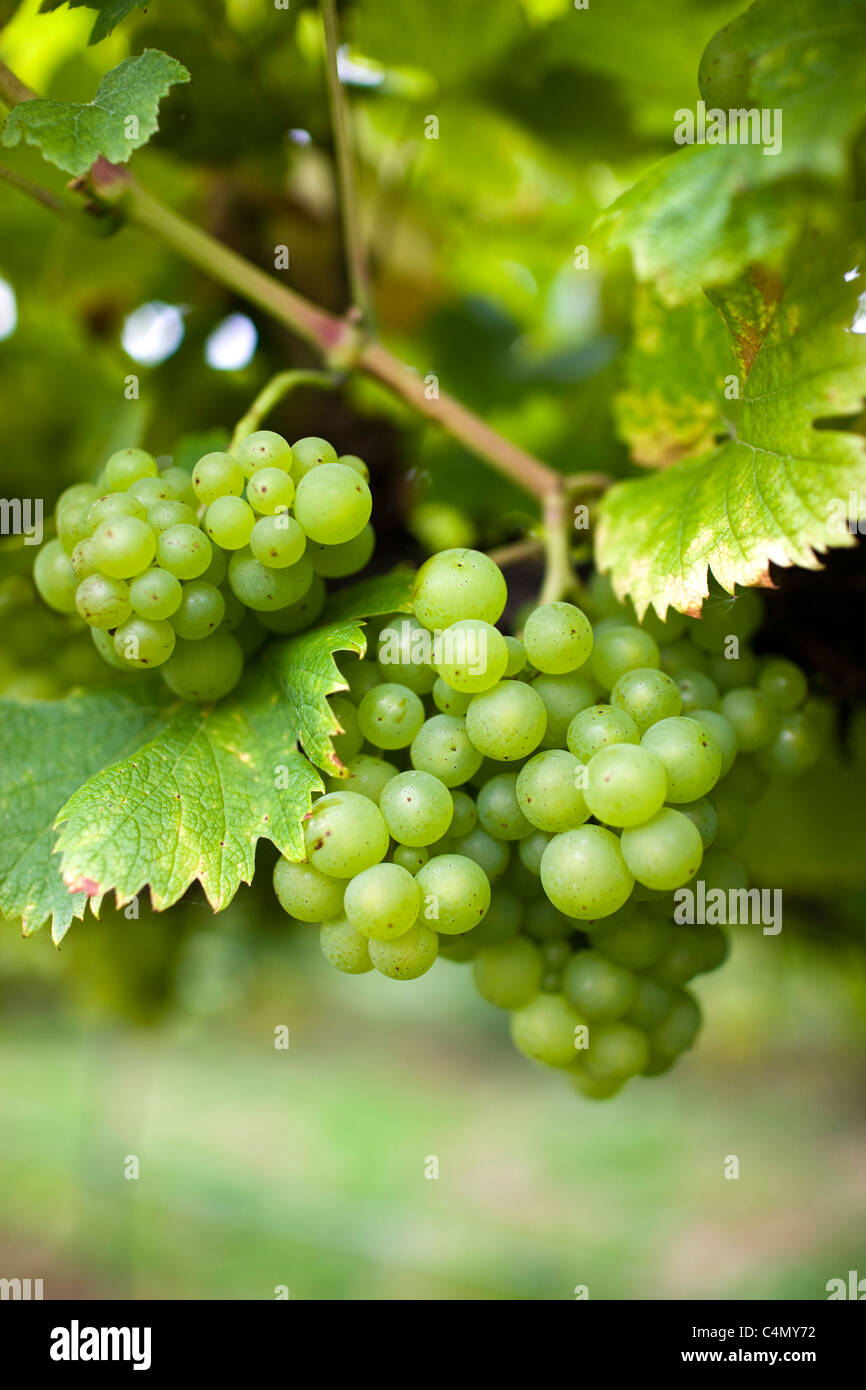 Huxelrebe grapes growing on grapevines for British wine production at The Three Choirs Vineyard, Newent, Gloucestershire Stock Photo