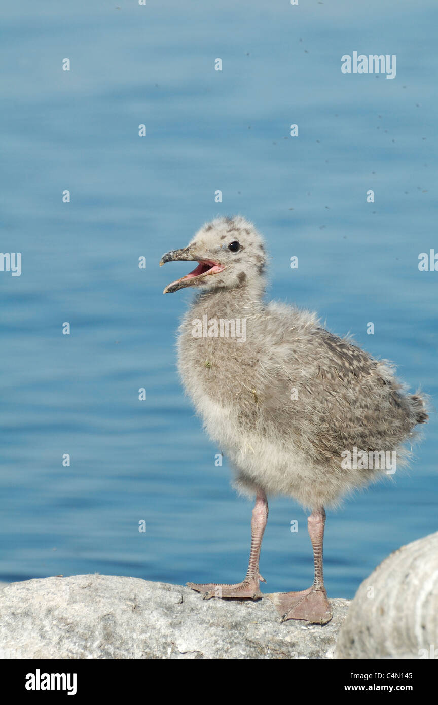 Baby Herring Gull - Stock Image