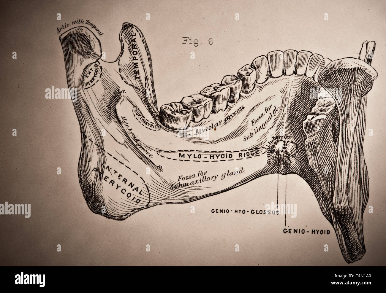Illustration From Allens Human Anatomy Bones And Joints 1882 Stock