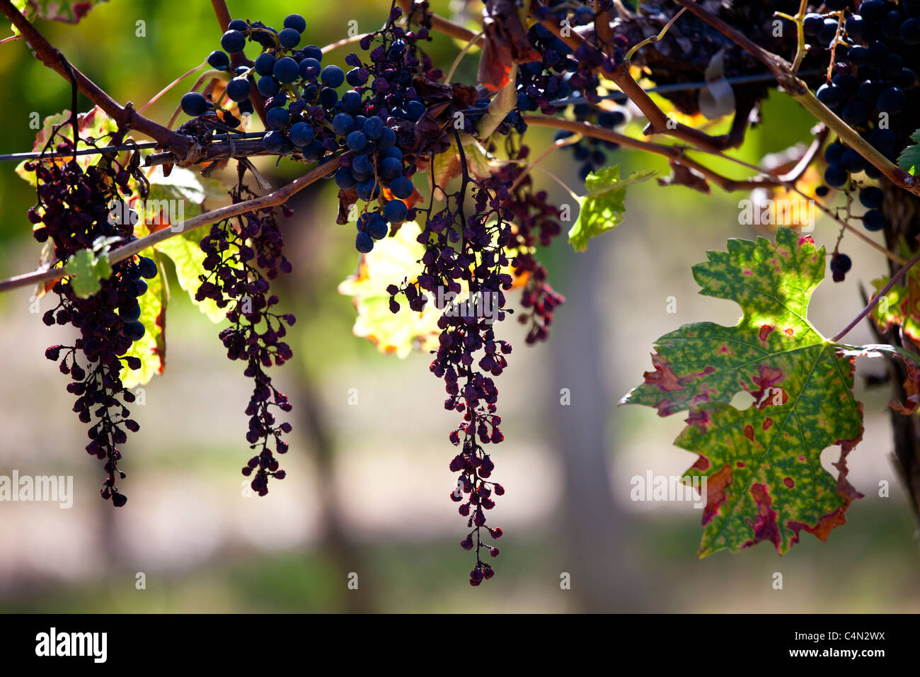Withered Merlot grapes on an ancient vine at Chateau Fontcaille Bellevue, in Bordeaux region of France - Stock Image