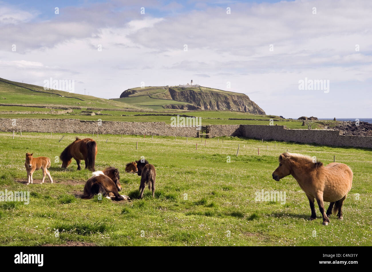 Sumburgh, Shetland Islands, Scotland, UK. Shetland ponies mares with young foals in a field - Stock Image