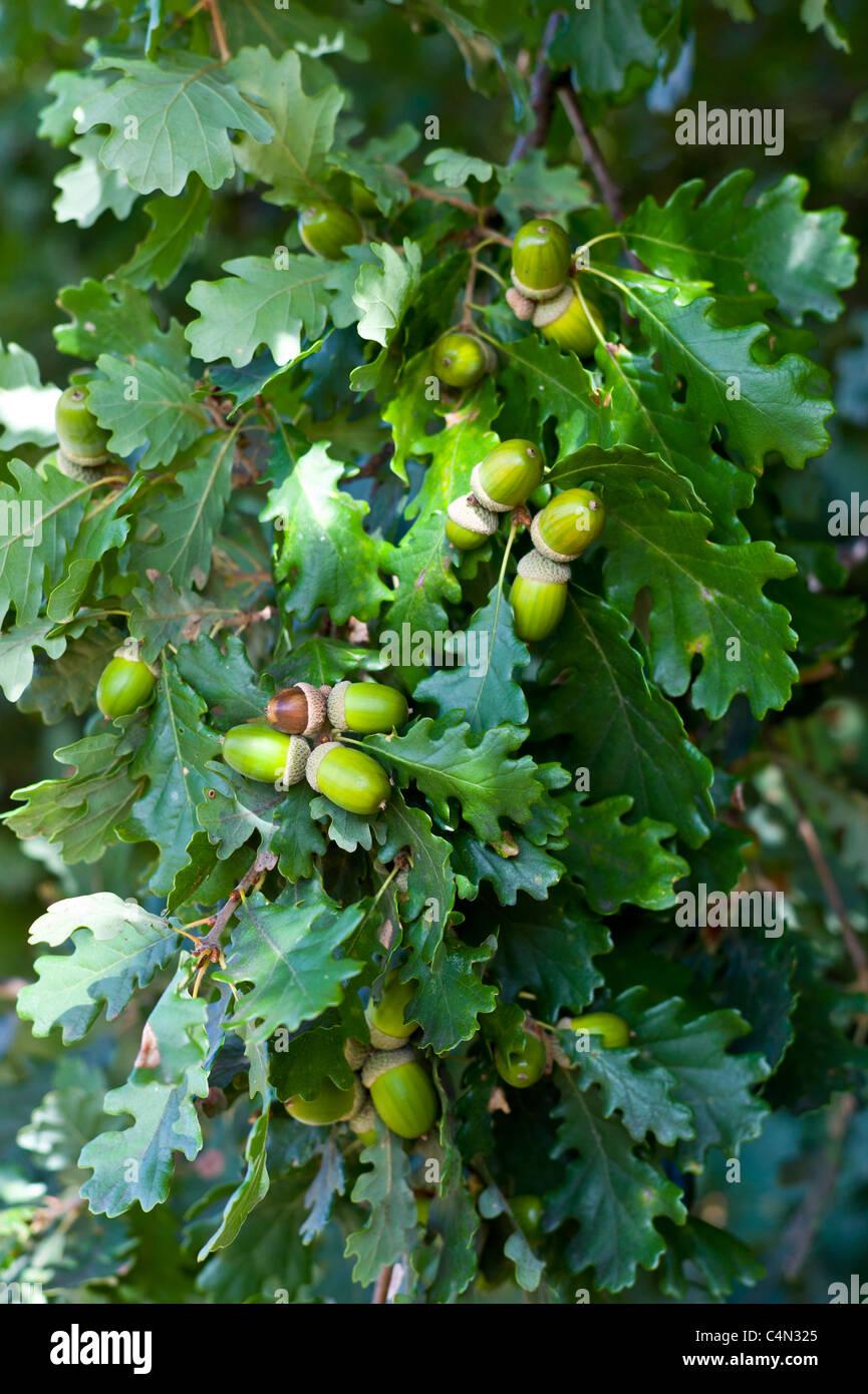 Acorns on oak tree Bordeaux region, France - Stock Image