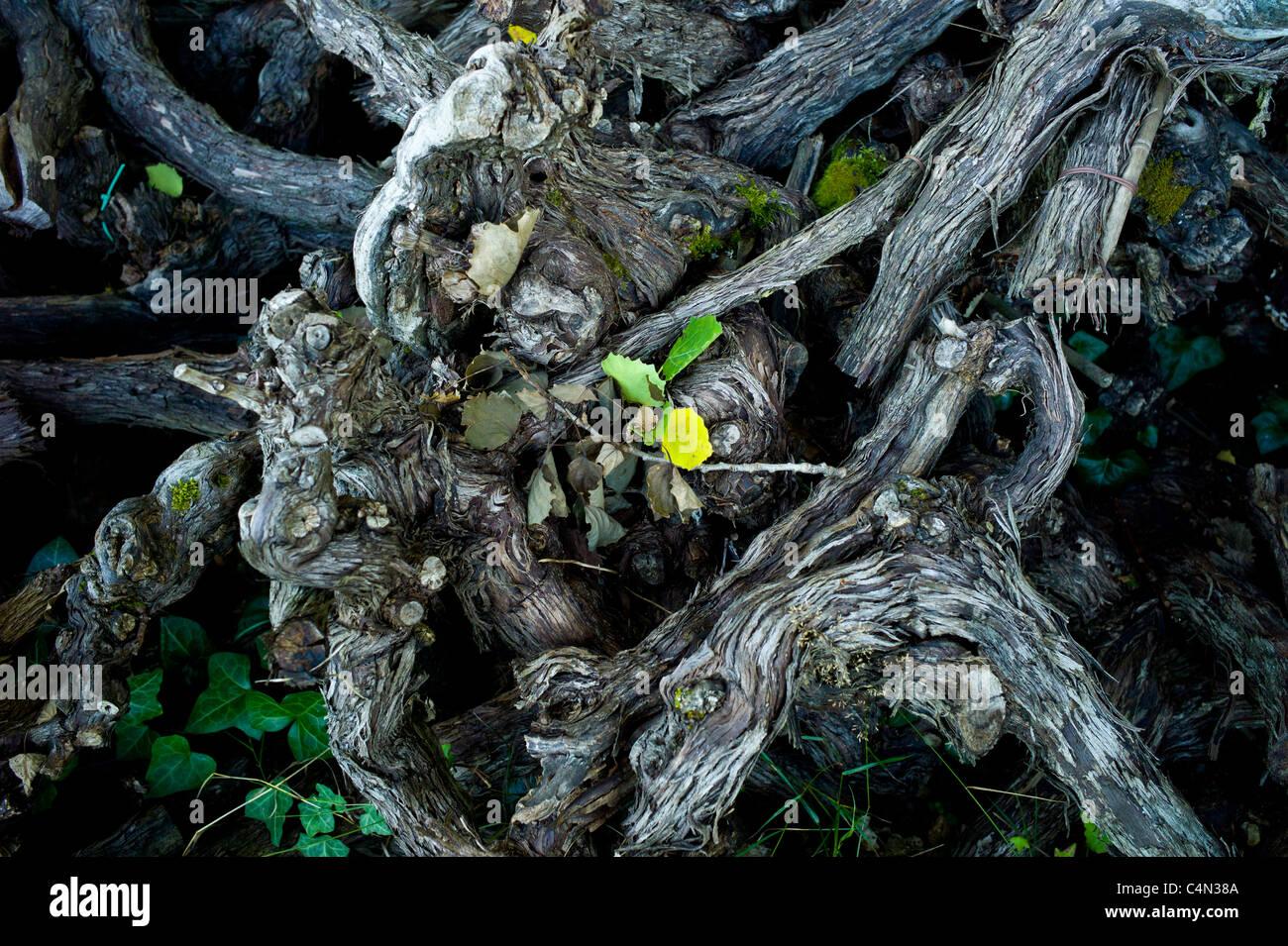 Old pruned vine stalks in wine region of Bordeaux, France - Stock Image
