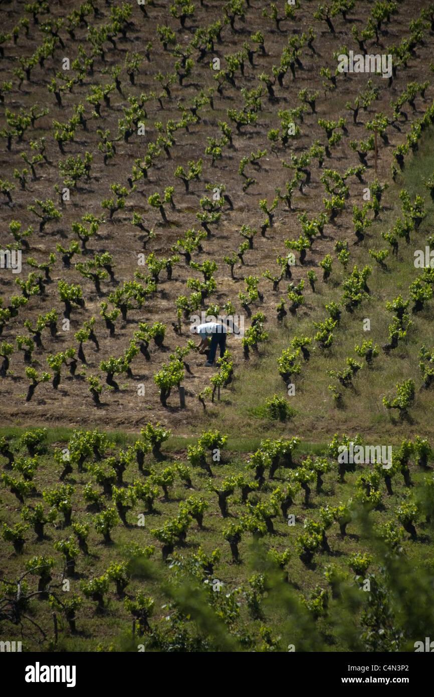 A farmer works in a vineyard in the French Way  of St. James Way, Ponferrada town, El Bierzo, Castilla y Leon, Spain - Stock Image