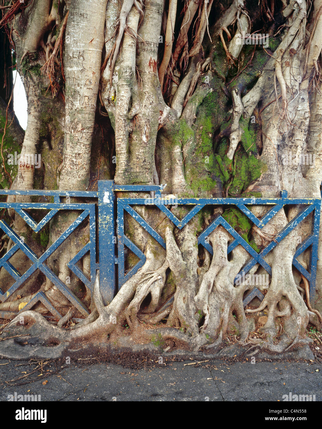 Big tree roots are growing through a iron fence - Stock Image