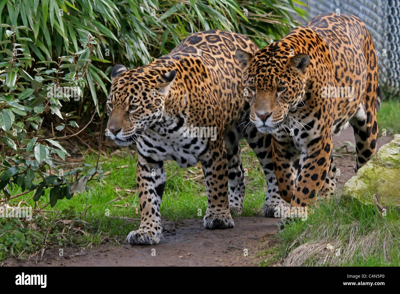 Pair of strolling jaguars - Stock Image