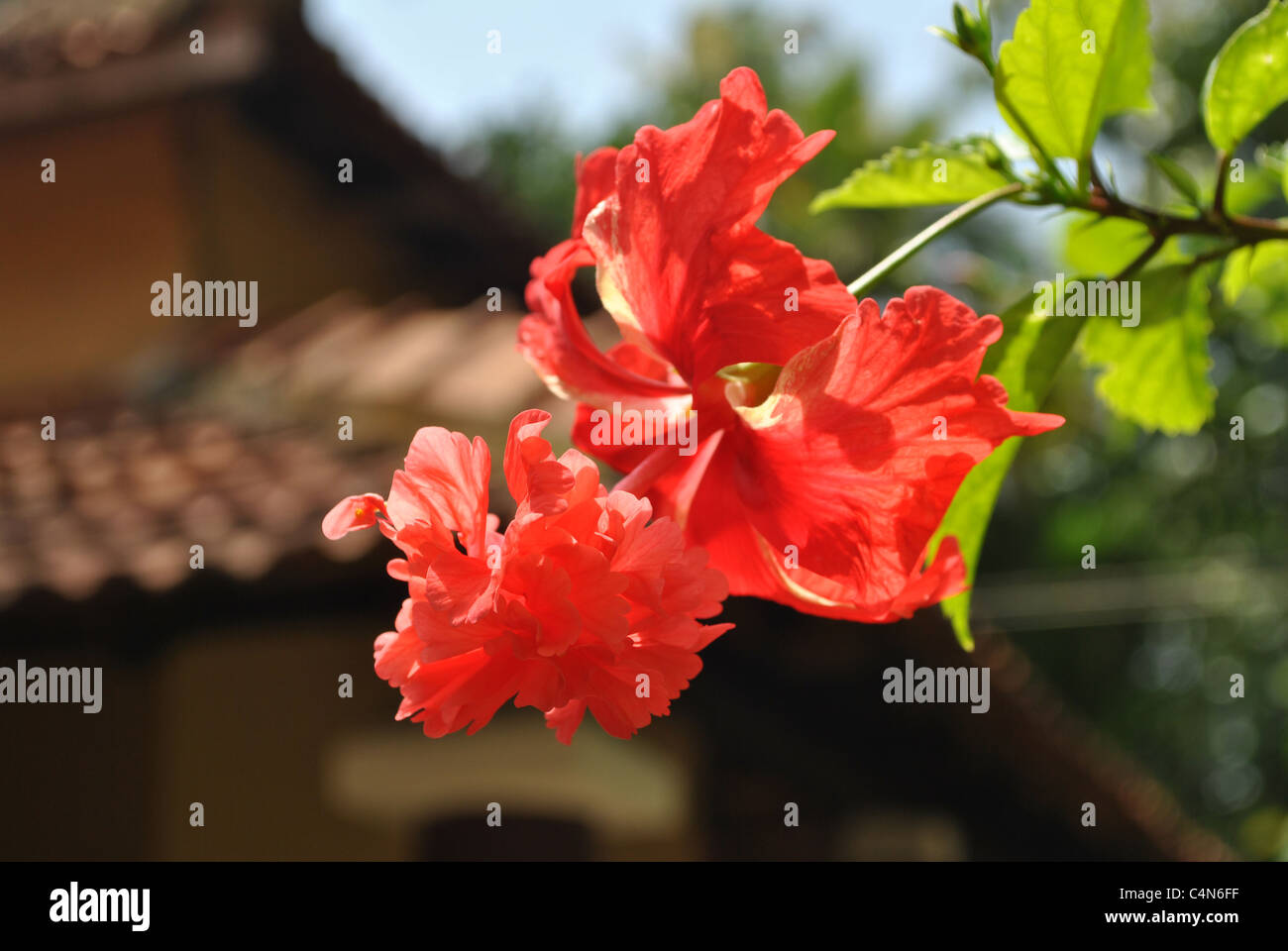 Hibiscus red flower - Stock Image