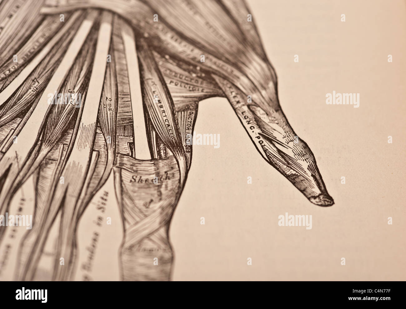 Henry Gray Anatomy Stock Photos & Henry Gray Anatomy Stock Images ...