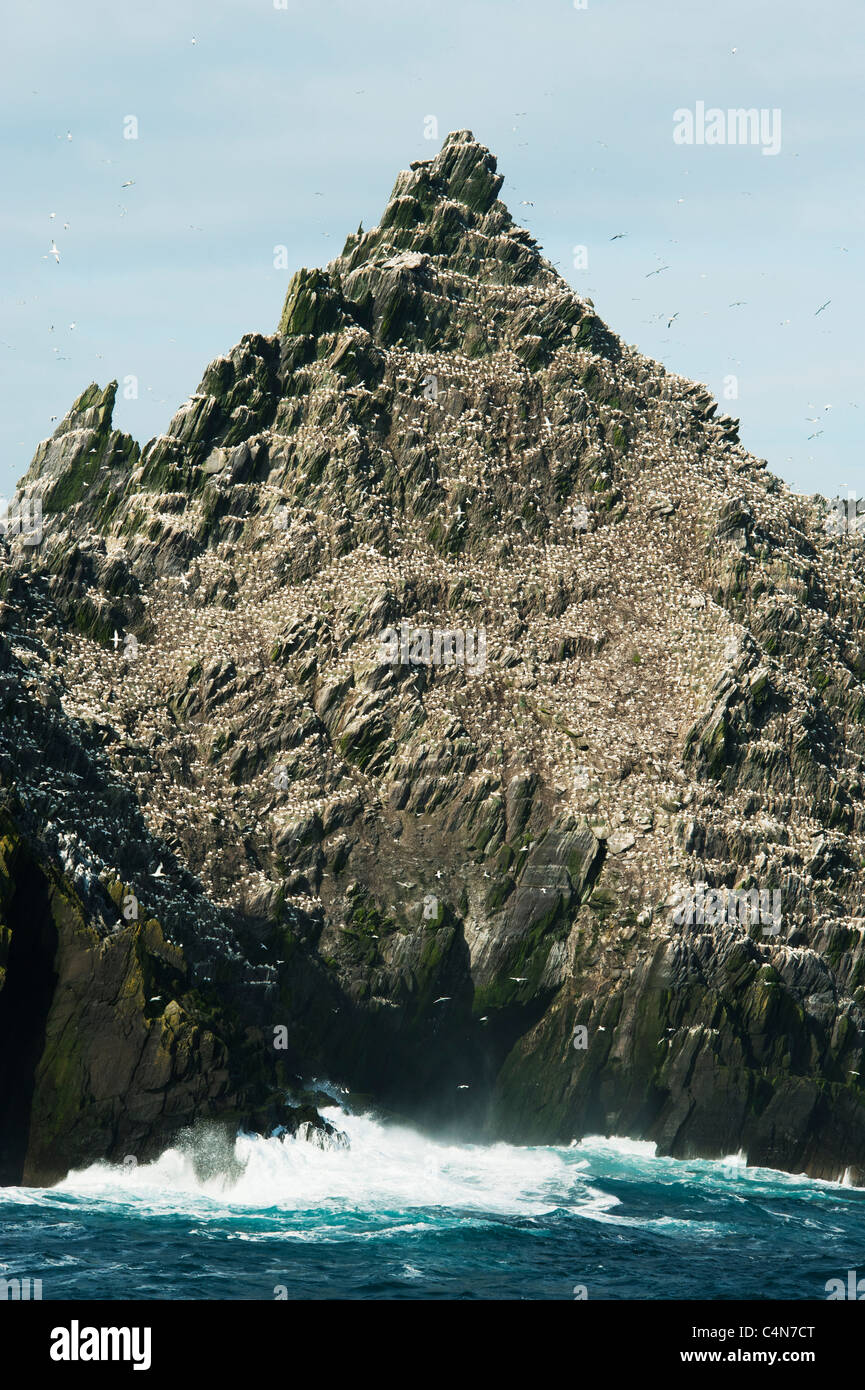 Little Skellig Island, Major colony for Northern Gannets (Sula bassana) County Kerry, Ireland - Stock Image
