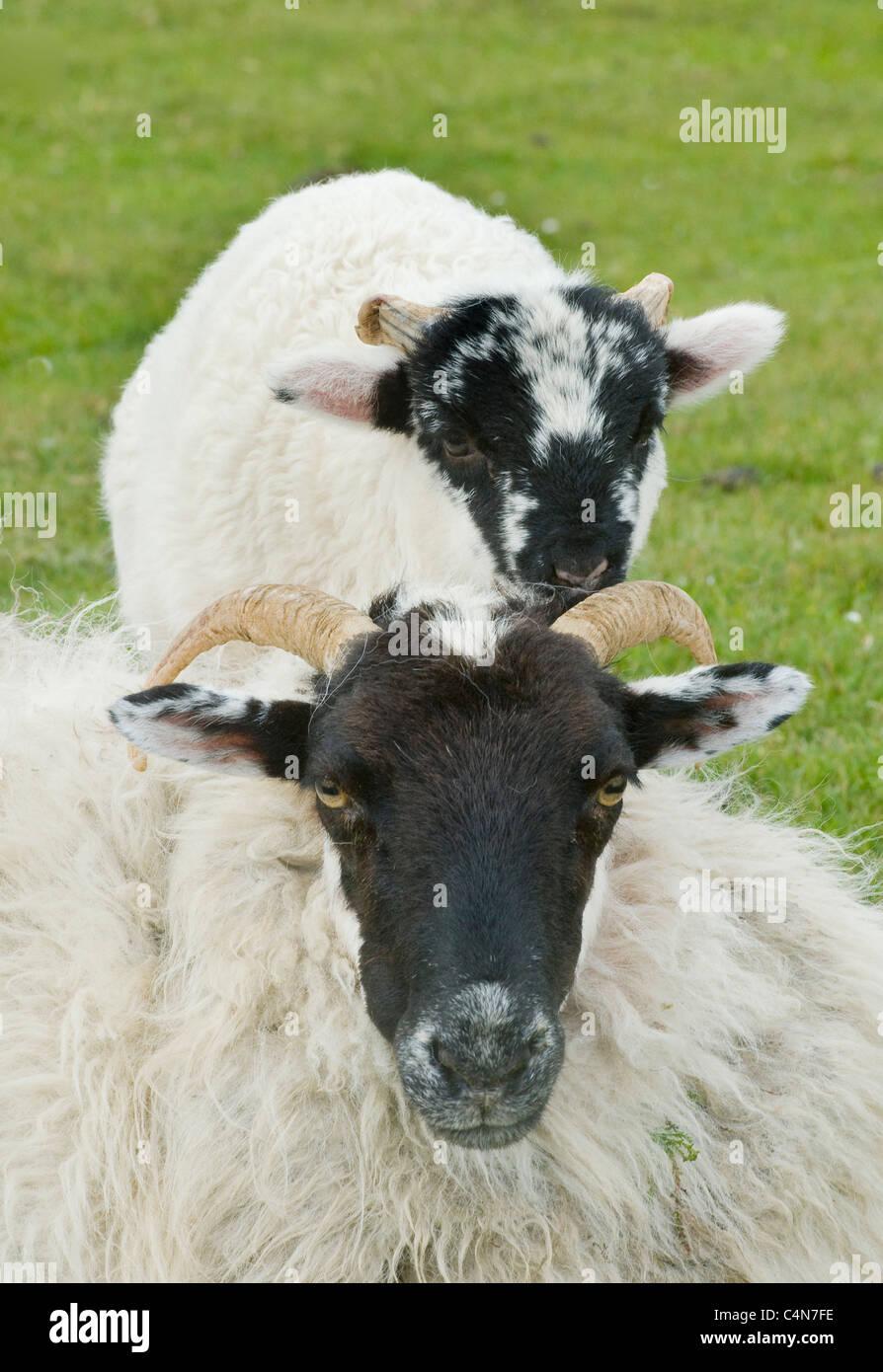 Black-faced Sheep and lamb, Western Ireland - Stock Image