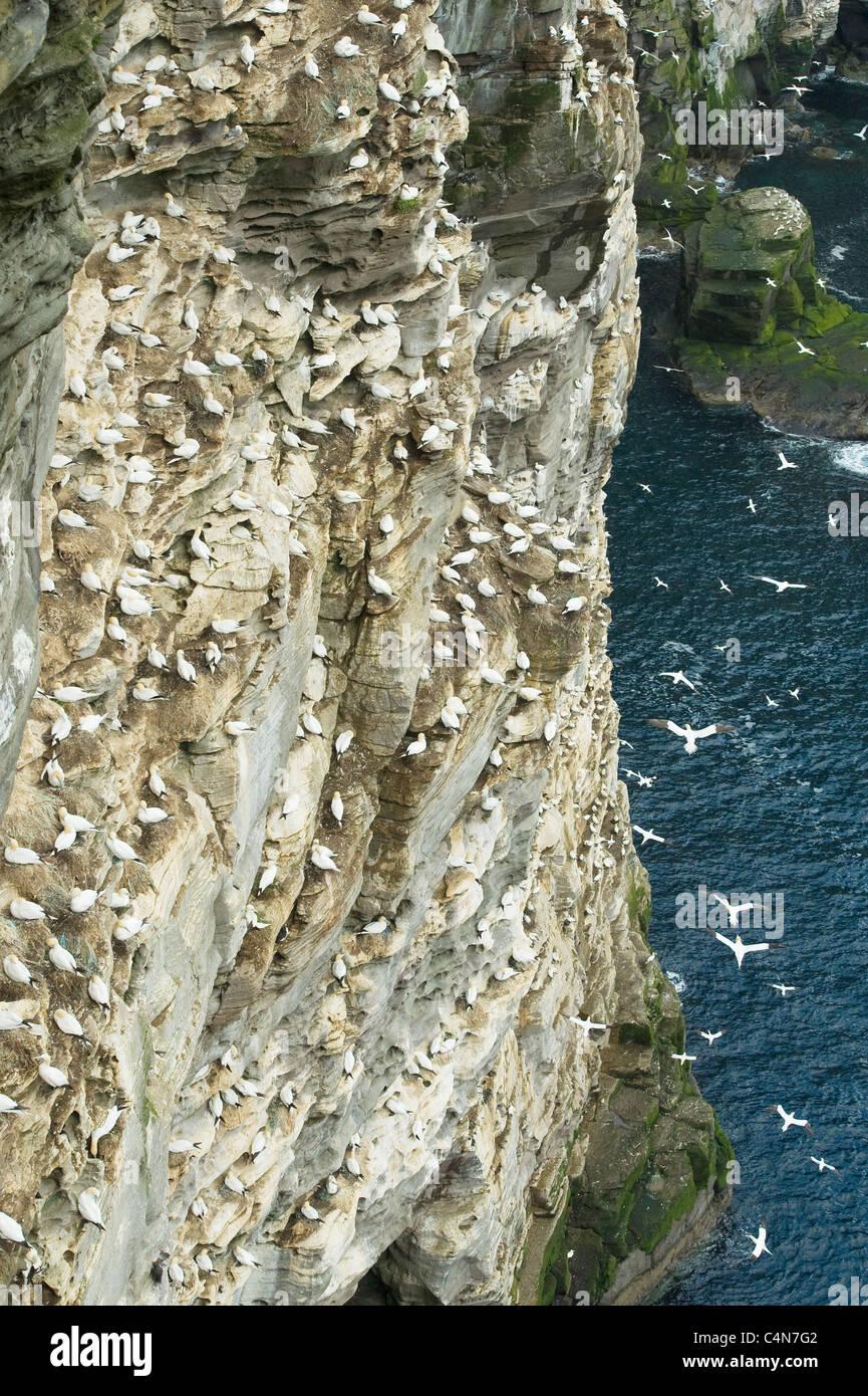 Northern Gannets (Sula bassana) Breeding Colony, Isle of Noss National Nature Reserve, Shetland Islands, UK - Stock Image